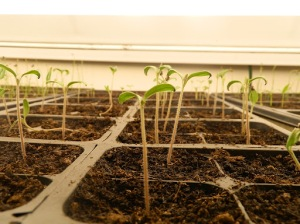 How to Care for Seedlings