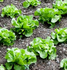 How to grow lettuce, lettuce in a garden, perfectly grown lettuce