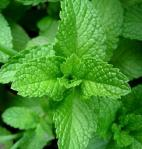 mint, growing mint is easy, where to plant mint, how to harvest mint, how to store mint, when to plant mint, how to use fresh mint, saving mint, preserving mint,