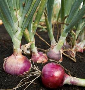 Onion, growing onions, harvesting onions, how to preserve onions, home grown onions