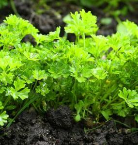 Parsley, growing parsley, how to grow parsley