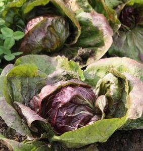 radicchio, growing radicchio in the garden, home grown radicchio