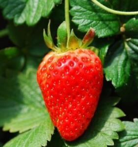 what is the secrete to growing big strawberries, how do you renovate a strawberry patch,  when do you fertilize strawberries,
