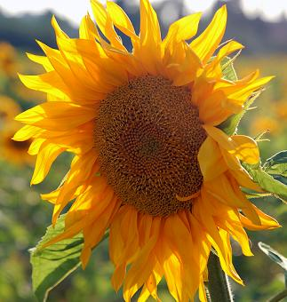 Sunflower, how do you grow sunflowers, how much water do sunflowers need, how do you harvest sunflower seeds, do you plant sunflowers from seed, what should I do if the heads of the sunflower droop