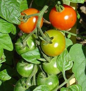 Tomato guide, how to grow tomaotes,