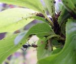 Ant_cultivating_aphids, where to aphids grow, what do aphids look like, where on the plant will I find aphids