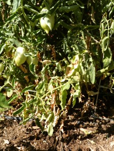 why all my tomatoes got a disease this year, how to avoid disease on my tomato plants, how do you grow tomatoes with out disease, what dose disease look like on a tomato, desease tomato