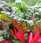 Swiss Chard, what is swiss chard, is swiss chard easy to grow, how long dose it take to grow swiss chard, where should swiss chard be planted