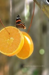 Great idea to attract butterflies, butterflies love oranges, what to feed butterflies,