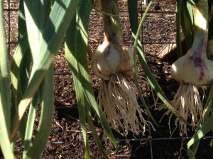 Home grown garlic, how do you plant garlic, when do you plant garlic, when do you harvest garlic, how much water garlic need,