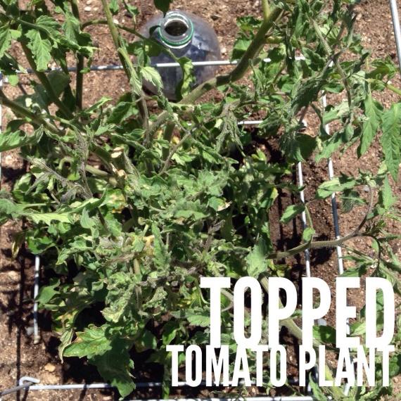 Topped tomato plant